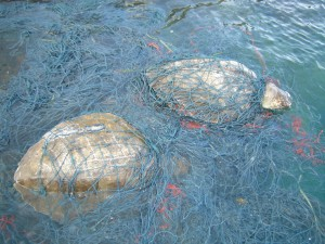 ghost nets turtle australia
