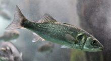 europese zeebaars intestines european sea bass