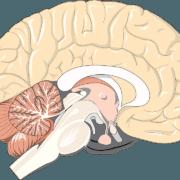 Hormone disruptors in human brains