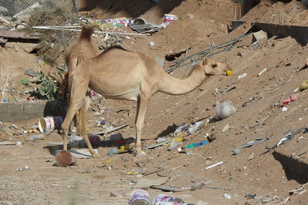 Camels continue to die of plastic in the desert - Plastic ...